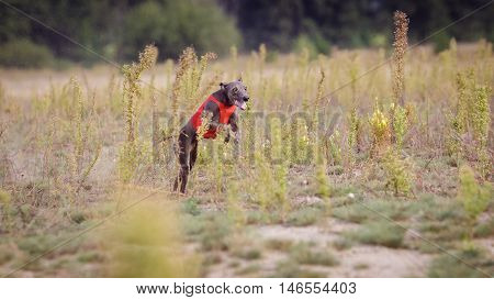 Training Coursing. Italian greyhound dog pursues a bait box. Summer sunny morning
