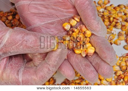 Corn In A Laboratory For Quality Controll