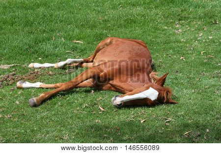 Young chestnut colt lies in grassy field in Peru