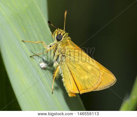macro of large skipper, an orange butterfly on a leaf