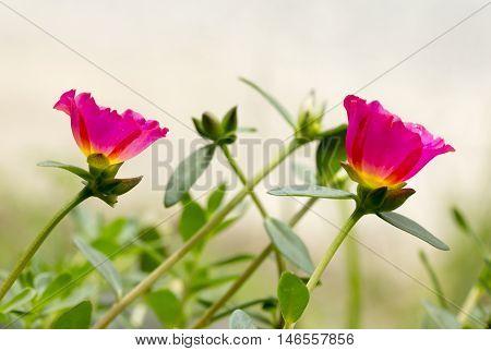 soft focus Common Purslane Verdolaga Pigweed Little Hogweed or Pusley flower