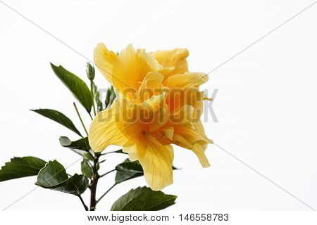 Yellow Hibiscus flowers on tree on white sky