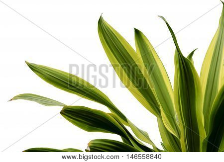 Green yellow leaves plant  on white background