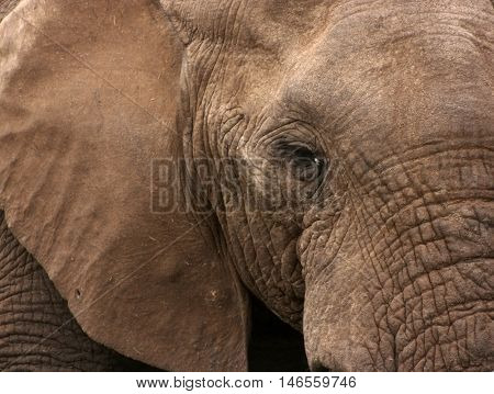 Close up of African Elephant (Loxodonta africana), Addo Elephant National Park, South Africa, Africa