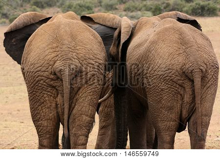 Rear view of African Elephants (Loxodonta africana) in Addo Elephant National Park, South Africa, Africa