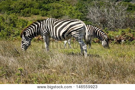 Burchell's zebras (equus quagga). Two zebras grazing in the bushveld at Addo Elephant National Park, South Africa