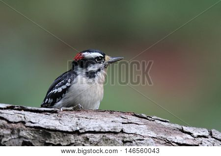 A male downy woodpecker (Picoides pubescens) sitting on a branch in Fall.