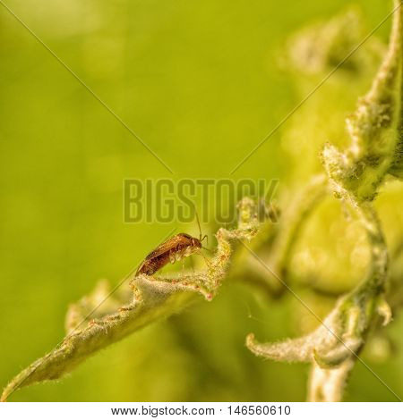 Macro of a brown Lyngus bug sitting on a leaf.