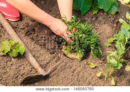 Summer work in the garden. Woman replanting marigold flowers plants outdoor