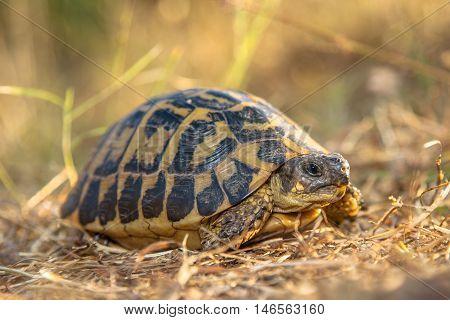 Hermann's Tortoise (testudo Hermanni) In Dry Grass Environment, Italy, Europe