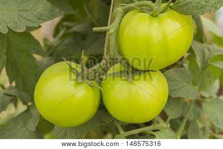 Green tomatoes in nontoxic vegetables garden food.