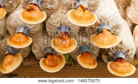 Lingzhi mushrooms in  mushroom farm, chinese traditional medicine.