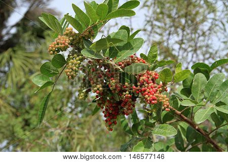 Pepper Berries with two leaf insects (family stick insects) that imitate perfectly the leaves of the tree.  Photograph taken in the Everglades, Florida, USA.