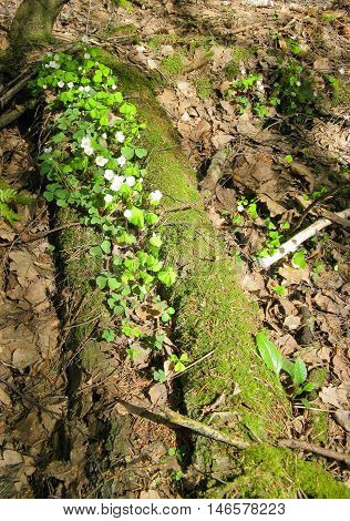 Early spring woods. Delicate flowers of oxalis ordinary has grown between the fallen rotten trees.