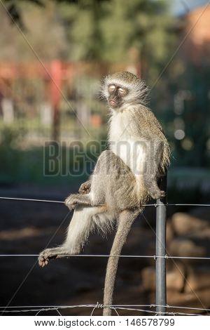 Closed Eye Monkey On Fence