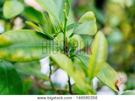 Caterpillar crawling up the lemon tree branches
