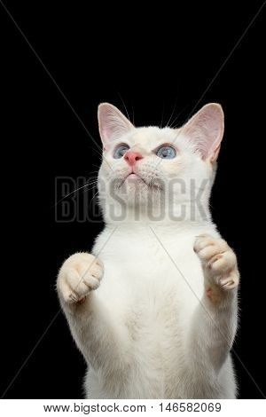 Close-up Portrait of Playful Mekong Bobtail Cat with Blue eyes, Standing and Raising up paws, want to Catch, Isolated Black Background, Color-point White Fur