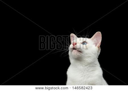 Close-up Portrait of Mekong Bobtail Cat with Blue eyes in Front view, Curious Looking up, Isolated Black Background, Color-point White Fur