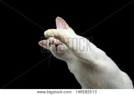 Close-up Portrait of Playful Mekong Bobtail Cat with Blue eyes, Falling and Raising up paws, want to Catch, Isolated Black Background, Color-point White Fur