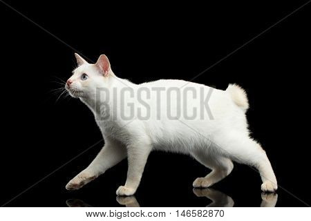 Cat of Breed Mekong Bobtail without tail, Walking and Looking up, Isolated Black Background, Color-point White Fur