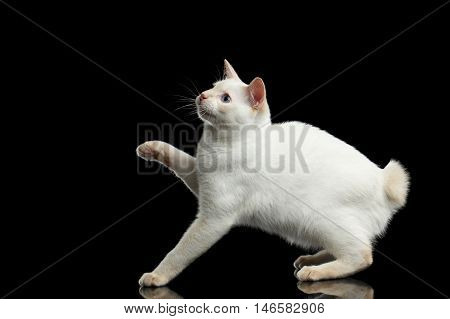 Playful Cat of Breed Mekong Bobtail without tail, Isolated Black Background, Color-point White Fur, Side view