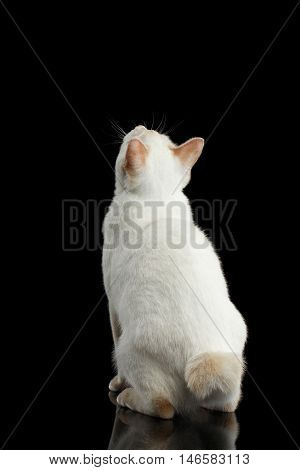 Cat of Breed Mekong Bobtail without tail, Sitting and Looking up, Isolated Black Background, Color-point White Fur