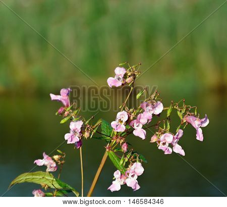 Closeup of a pink flowering Himalayan Balsam or Impatiens glandulifera plant at the banks of a small river in summertime.