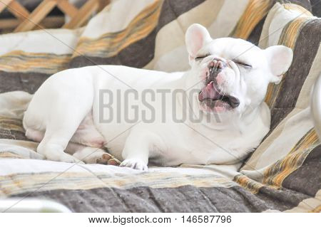 yawn French bulldog in sofa , sleepy dog