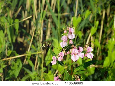 Closeup of a pink budding and flowering Himalayan Balsam or Impatiens glandulifera plant at the banks of a small river in summertime. In the background reed plants are visible.