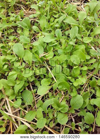 fresh green Brassica rapa plants in nature garden