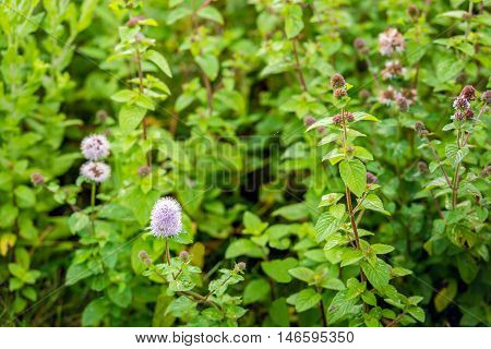 Pinkish flowering budding and overblown Water Mint or Mentha aquatica plants from close. All parts of the plant have a distinctly fresh and minty smell.
