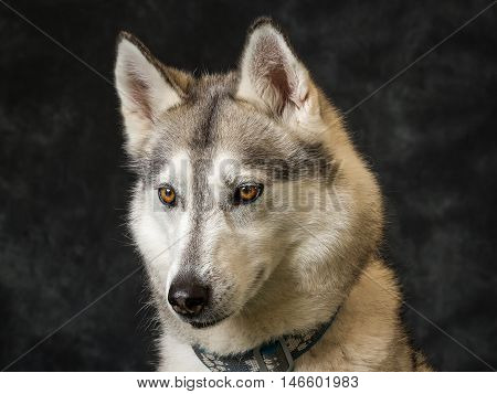 Sky The Siberian Husky On Grey Background