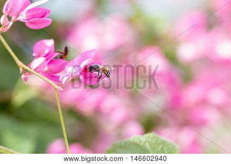 Coral Vine Or Antigonon Leptopus Hook Flower With Bee