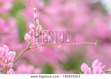 Coral Vine Or Antigonon Leptopus Hook Flower