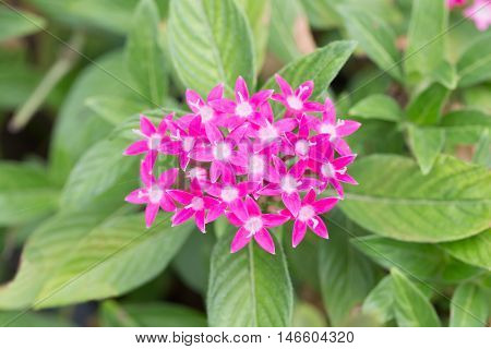 Egyptian Starcluster Or Star Flower
