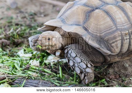 Large tortoise eating vegetables in the farm