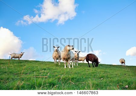 sheep on pasture over blue sky in summer