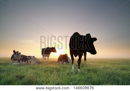 few cows on pasture at summer sunrise