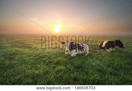 relaxed cows on pasture at sunrise in summer
