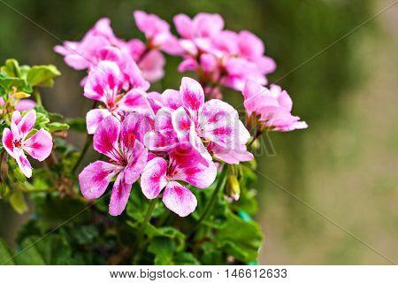 One Flower Pink Geraniums In A Flowerpot