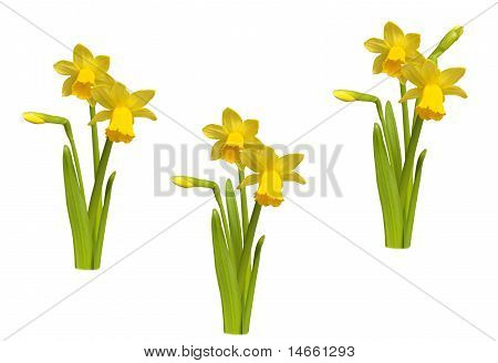 Three Bouquets  Of Yellow Narcissi On White Background.