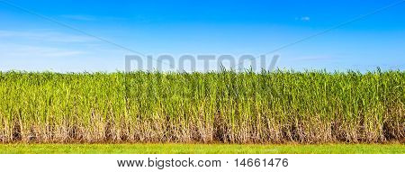 Panorama Of Sugar Cane Plantation