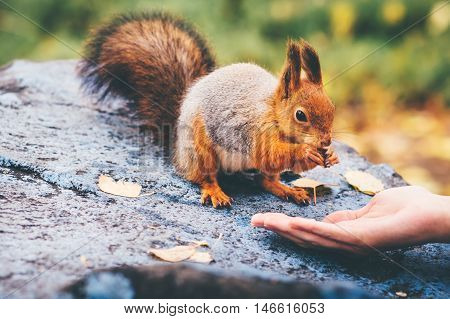 Squirrel eating nuts from woman hand and autumn leaves on background wild nature animal thematic (Sciurus vulgaris rodent)