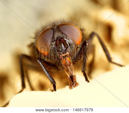 Ugly face of a common housefly close-up macro