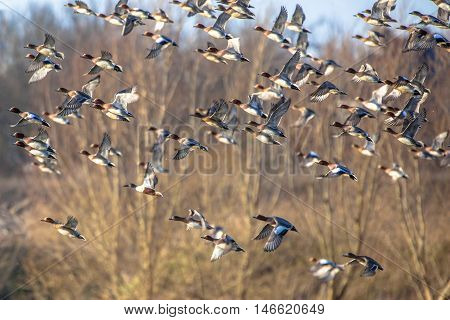 Large Flock Of Eurasian Wigeon (anas Penelope) In Flight