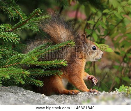Alert red squirrel in the green natural forest environment