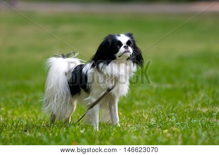 Japanese Chin portrait outdoor standing on lawn