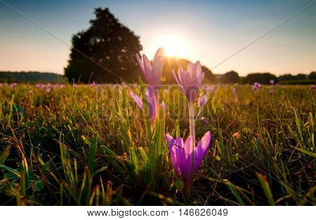 Autumn crocuses in a field lit by warm sun light
