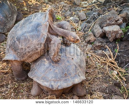 galapagos tortoise is the largest living species of tortoise.giant tortoises exist only on two remote archipelagos: west of Ecuador and Aldabra in the Indian Ocean