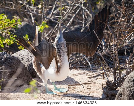 blue-footed booby (Sula nebouxii) is a marine bird in the family Sulidae. in Galapagos Islands